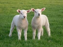 Lammetjes dagen